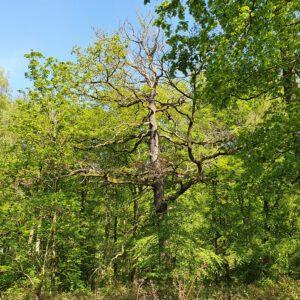 Old tree MP